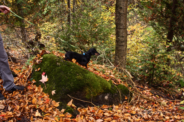 Emmitt the mini doxy standing on mossy rock