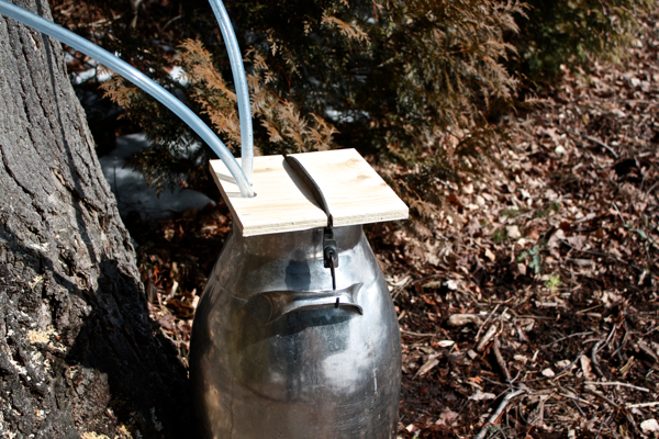 collecting sap with pipeline