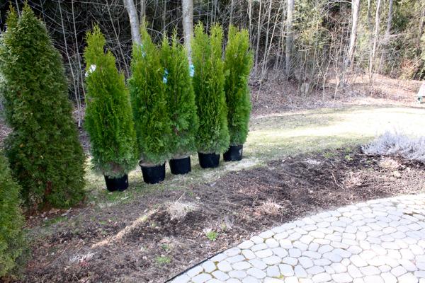 trees for side patio cynthiaweber.com