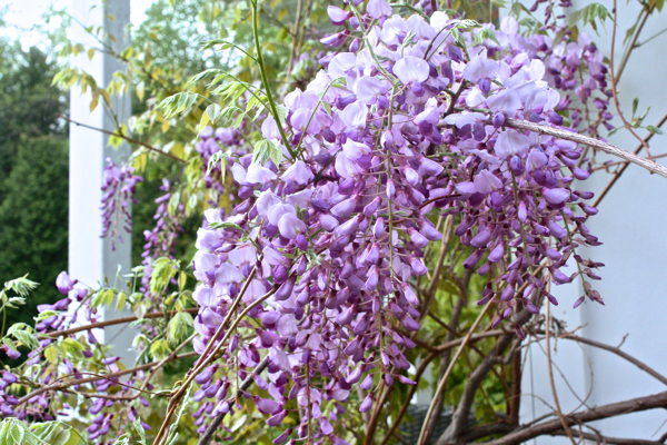 The Wisteria at Hoop Top House cynthiaweber.com