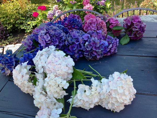 Freshly cut Hydrangea ready to dry…CynthiaWeber.com