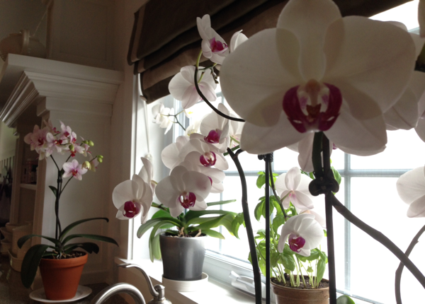 The orchids bloom one last time at Hoop Top House… CynthiaWeber.com