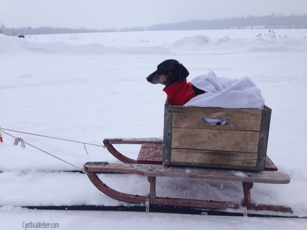 Emmitt ready for a sleigh ride… CynthiaWeber.com