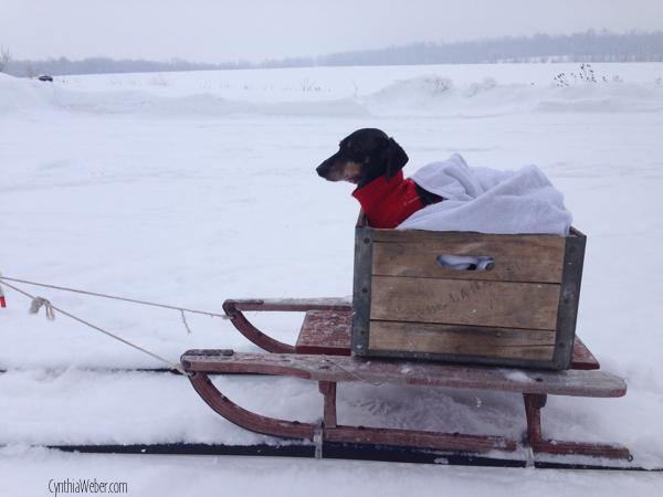 Emmitt ready for a sleigh ride… CynthiaWeber.com
