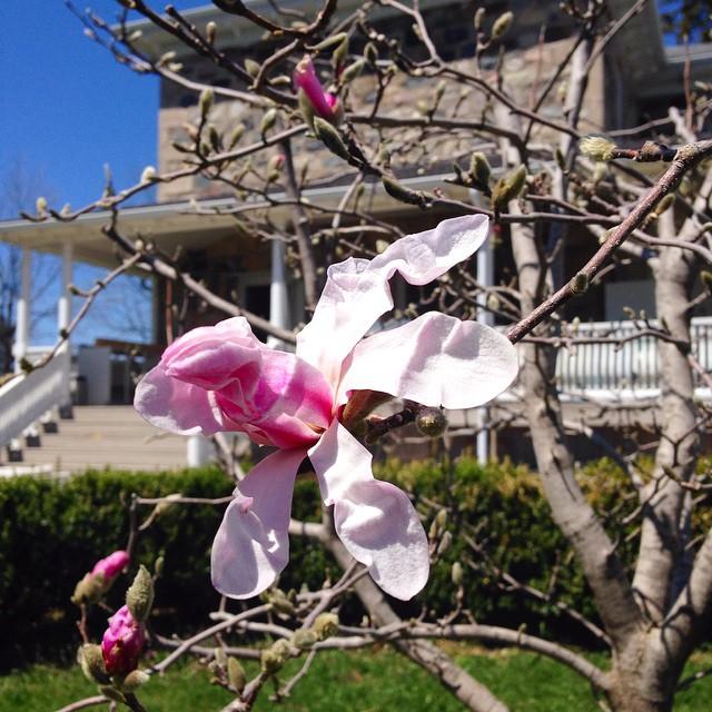 The magnolia at Bannockburn 1878… cynthiaweber.com