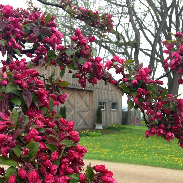 The crabapple infront of the barn at bannockBurn 1878… CynthiaWeber.cm