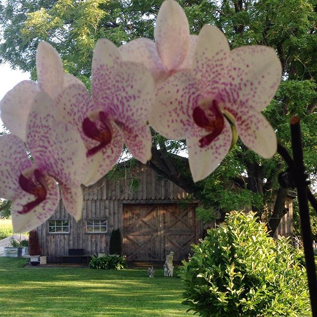 The barn as seen underneath the Orchid on the porch… Cynthiawber.com