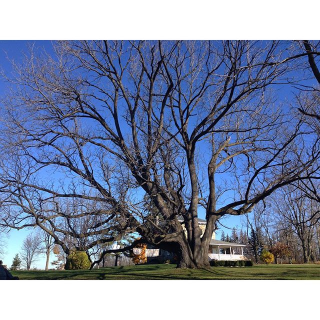 The black walnut tree lost it's leaves… CynthiaWeber.com