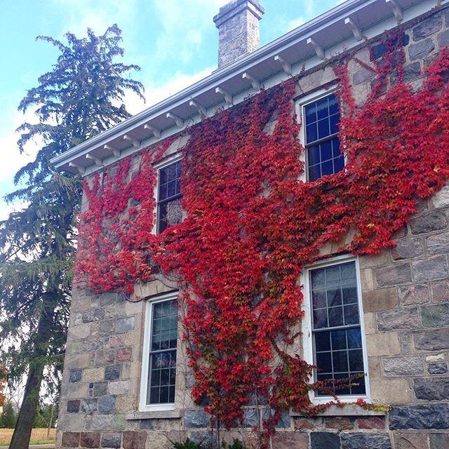 The vines turn red at BannockBurn 1878…