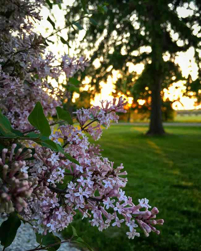 The Lilacs at Sunset... BannockBurn 1878