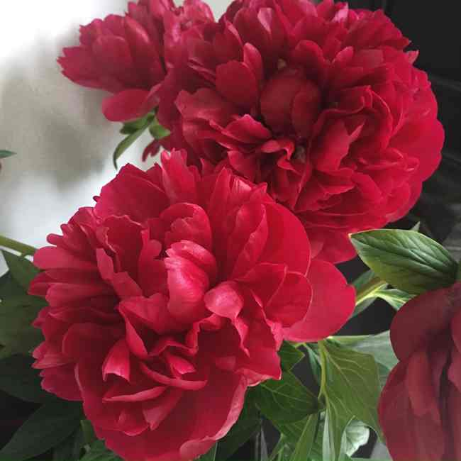 Ruby Red Peonies... Cynthiaweber.com