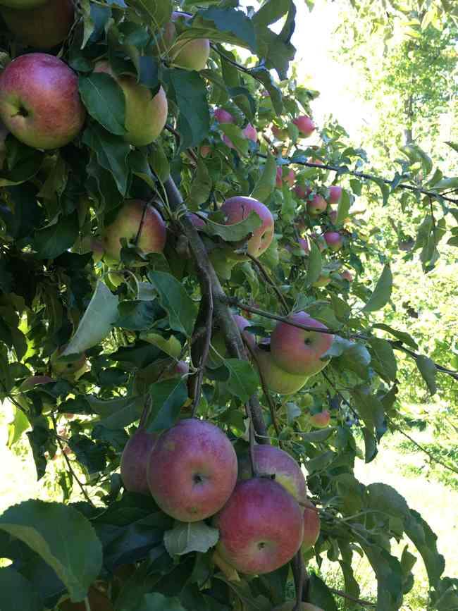aple-picking