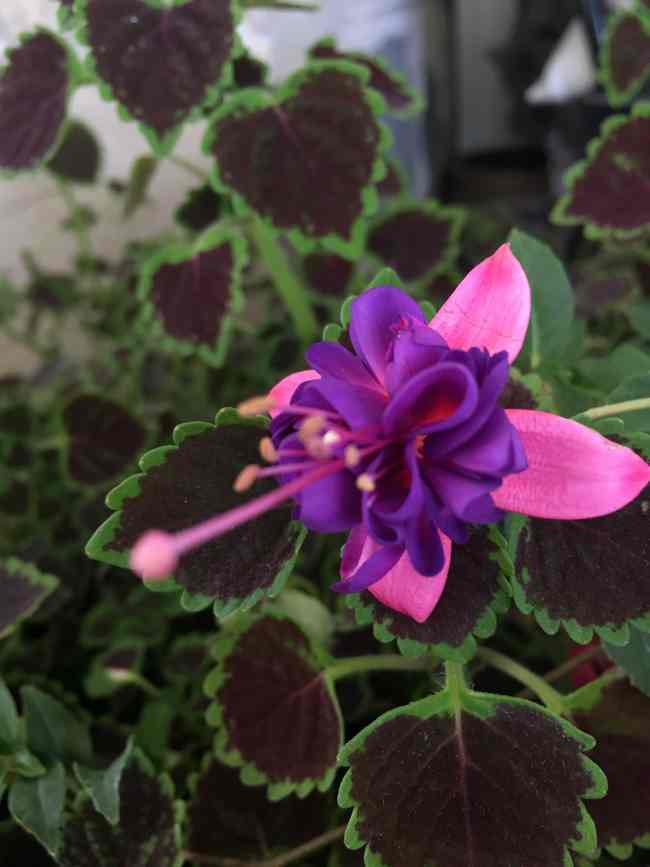 colius-and-bleeding-heart-for-fall-porch-styling